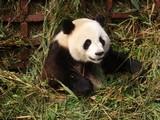 070707 panda4