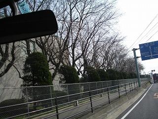 鳥栖キューピー桜