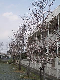 第2工場桜