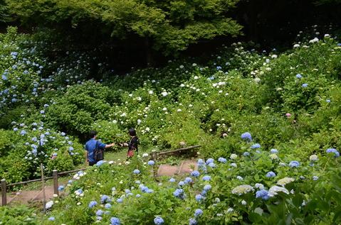 舞鶴自然文化園のアジサイ7