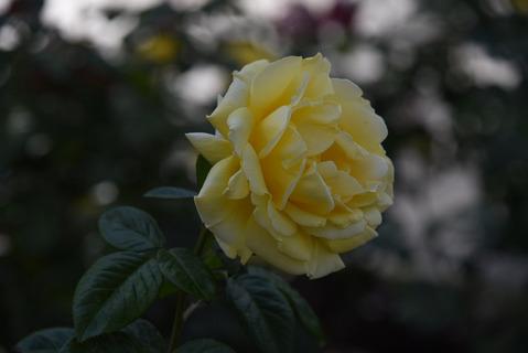 須磨離宮公園のバラ園7