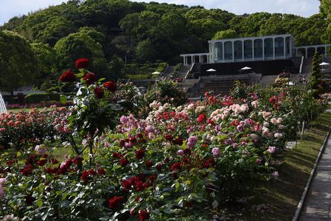 須磨離宮公園のバラ園15