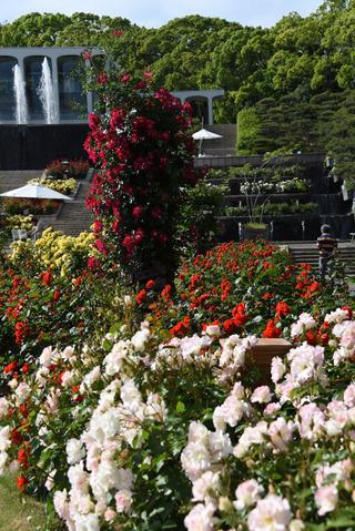 須磨離宮公園のバラ園16