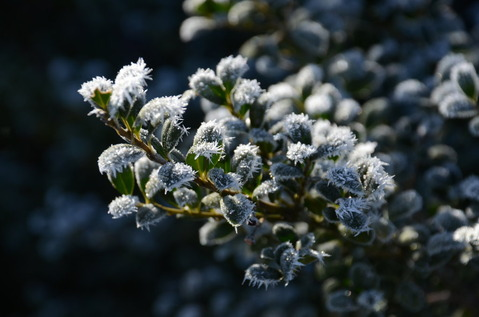 樹木の霜2