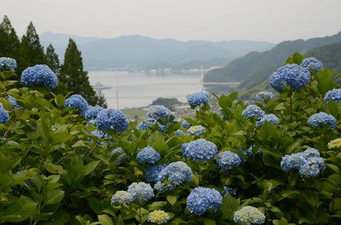 舞鶴自然文化園のアジサイ8