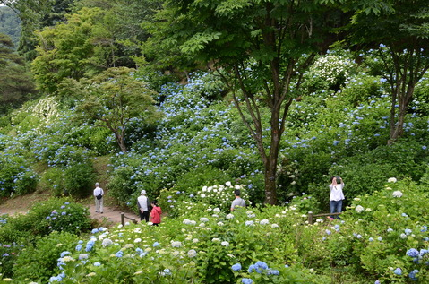 舞鶴自然文化園のアジサイ6