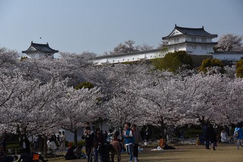 姫路城の桜7