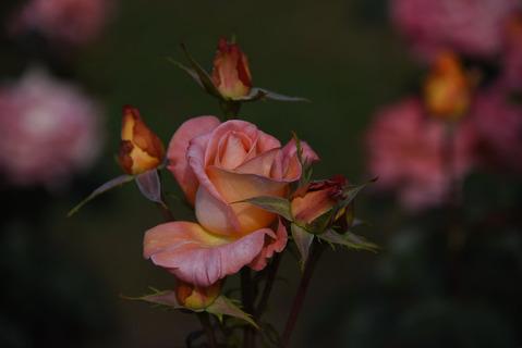 須磨離宮公園のバラ園11