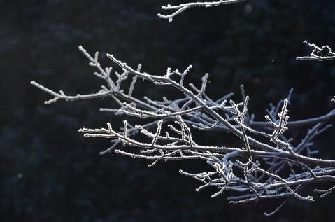 樹木の霜1