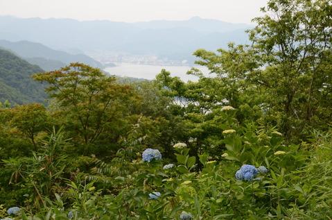 舞鶴自然文化園のアジサイ1
