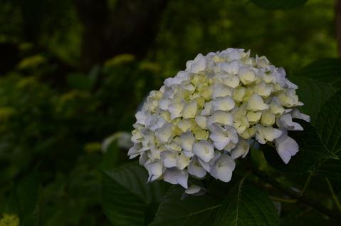 舞鶴自然文化園のアジサイ3