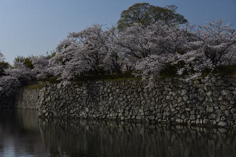 姫路城の桜6