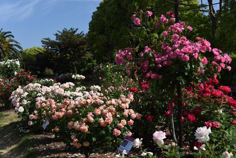 須磨離宮公園のバラ園5