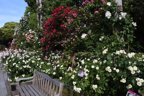 須磨離宮公園のバラ園8