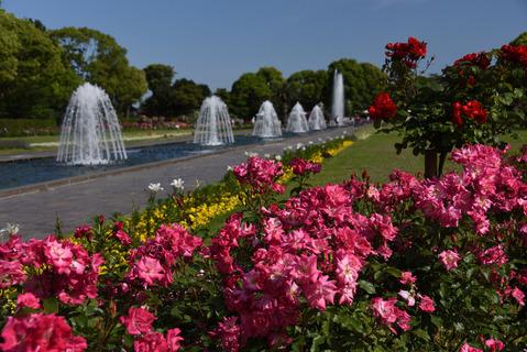 須磨離宮公園のバラ園4