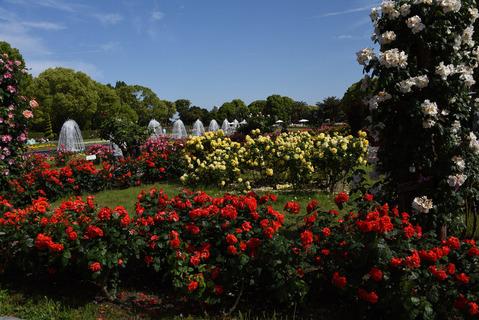 須磨離宮公園のバラ園3
