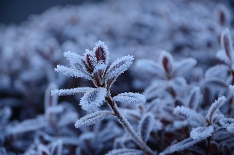樹木の霜3