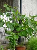 鉢植え葡萄へパーテーションをつけました