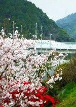 梅桜3(岩国)_.jpg