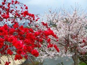 梅桜(岩国)_.jpg