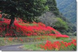 羽場の彼岸花.jpg