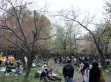 北海道神宮-桜 (7)