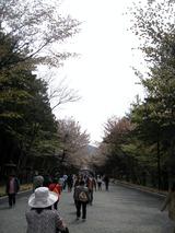 北海道神宮-桜 (9)