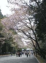 北海道神宮-桜 (12)