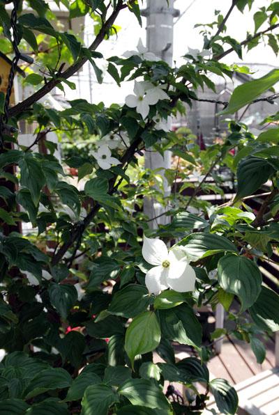 ヤマボウシ2花