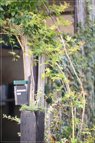 厩舎_壁面緑化_モッコウバラ