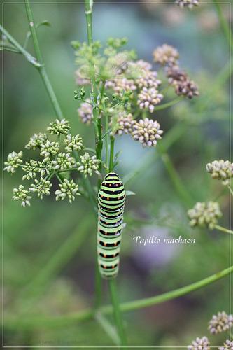 キアゲハ蝶の幼虫