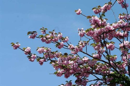 s-IMGP3521◎八重桜自