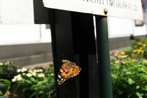 s-IMGP2518◎◎◎ヒメアカタテハ明トリ