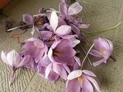 R0012377_サフランの花