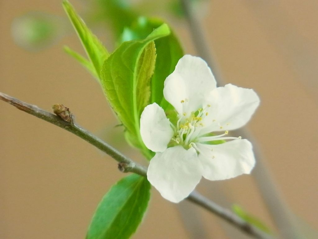 R0060168_一重庭桜の開花始まる_20140330