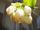 DSC03750_ブルーベリー開花