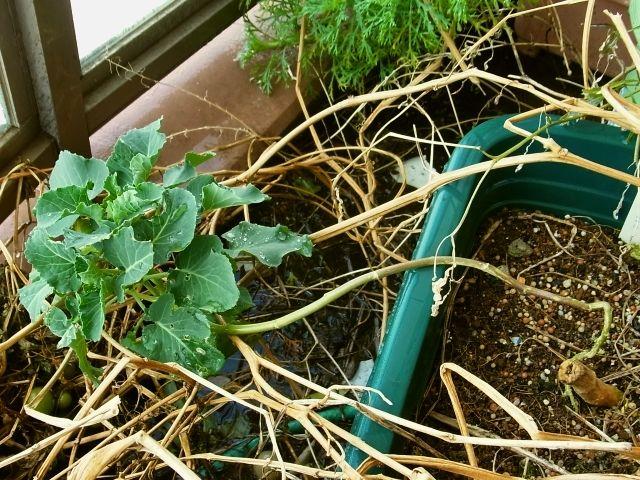 R0047972_ミニトマト枯れ後にブロッコリー_20120211