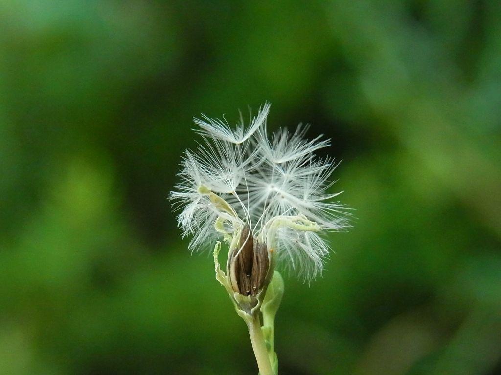 R0051464_リーフレタスの綿毛と種_20120722