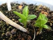 R0015074_挿し芽アジサイの新芽