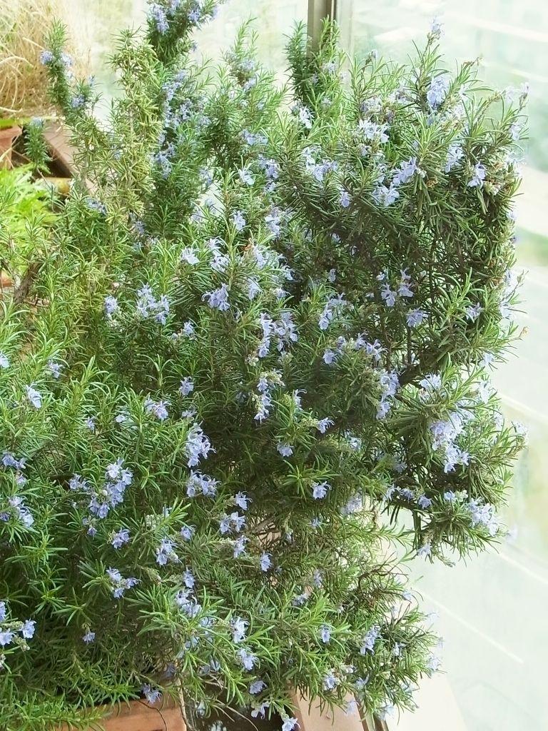 R0049141_ローズマリーの花満開_20120421