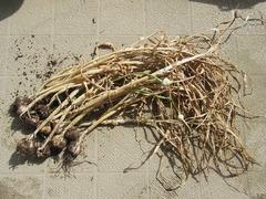 R0050936_日向のニンニクの収穫_20120630