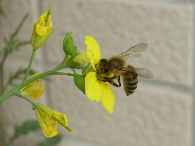 R0028247_セルバチコの花にミツバチ_20101016