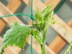 R0049730_キュウリの穂先と雌花の花芽_20120513