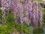 DSC04210_亀戸天神の薄紫の藤