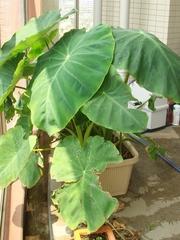 DSC06219_里芋の葉がさらに巨大化80cm