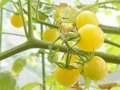 R0044277_ミニトマトアイスレモンの実_20110730