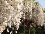 DSC04201_亀戸天神の白い藤