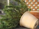 DSC04705_ローズマリー大株が暴風で転倒