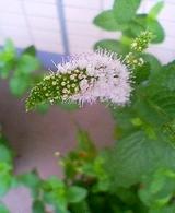 20060719_スペアミント開花