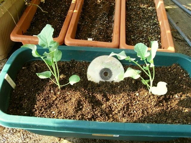 R0027605_ブロッコリー苗植え付け_20100919